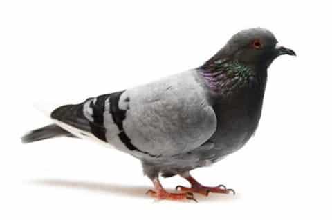 Les pigeons plus efficaces que les syndicats patronaux