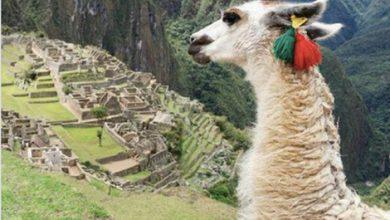 Photo de Faire le buzz avec un lama, une tendance ?